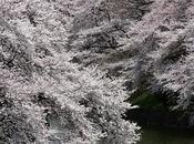 Fond écran cerisier fleur Japon