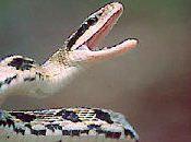 serpent venimeux dans leur nouveau sofa