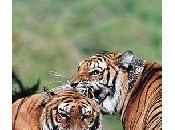 Deux tigres, passagers insolites d'une voiture!
