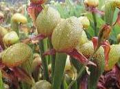 Plantes carnivores Darlingtonia californica dans milieu naturel