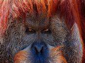 histoire d'orangs-outans