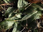 Rosettes d'orchidées plateau Domgermain