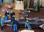 Japon décidé d'interrompre prématurément campagne chasse baleine dans l'Antarctique