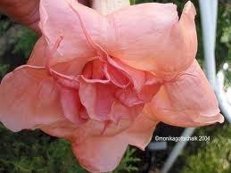 rosa-candida-rose2.jpg