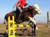vache pense être cheval