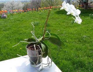 Phalaenopsis-verre_02