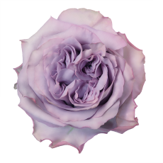 Dolcetto_topview_lavender_rose