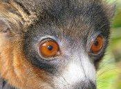 Changement d'habitat pour Lémuriens.