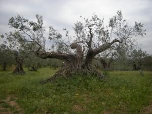 Un olivier sans doute centenaire