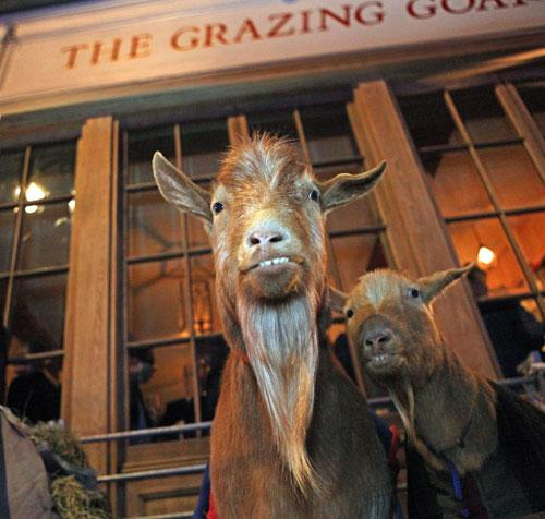 The-Grazing-Goat-Grazing-Goats-Royaume-uni-europe-de-l-ouest-hoosta-magazine