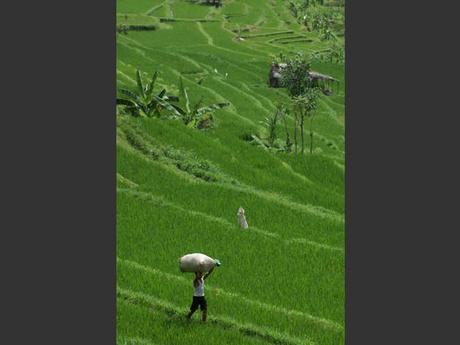 Un paysan porte un sac de riz à Bali, en Indonésie.