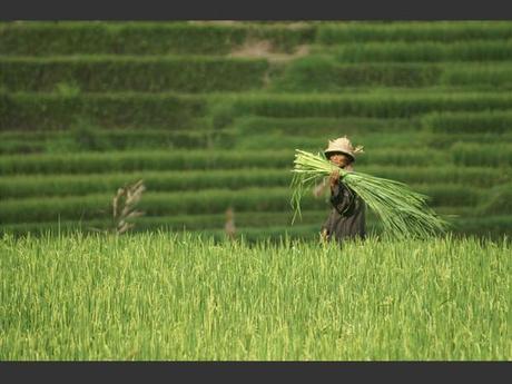 Un paysan dans des rizières à Bali, en Indonésie.
