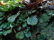 Découverte d'une nouvelle espèce bégonia, bégonia Blancii