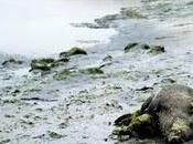 Algues vertes découverte sangliers morts relance polémique