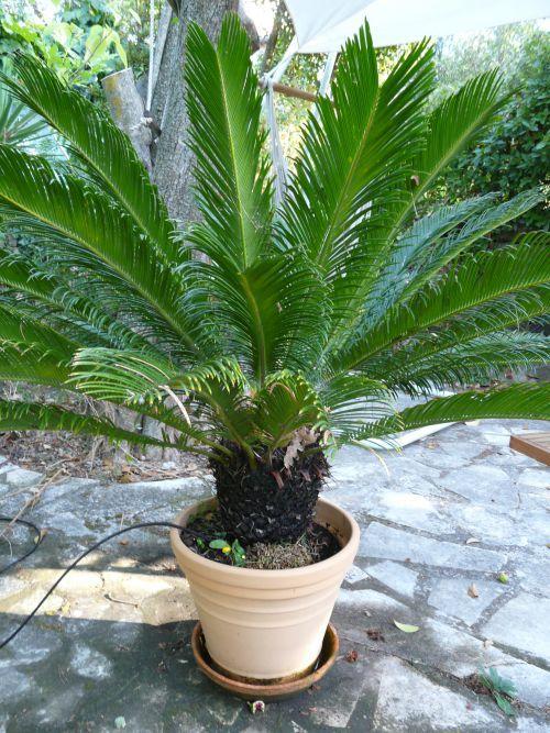 palmier 10 ans
