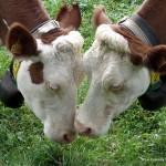 ODE AUX GROSSES VACHES