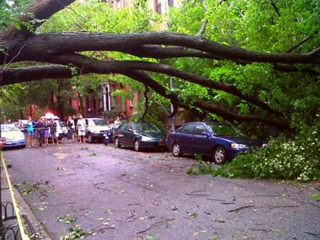 One of the few American elms remaining in New York City was downed in Brooklyn. Image source .
