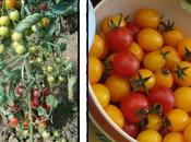 Tomates cerise vinaigre