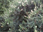 Escallonia illinita, fruits