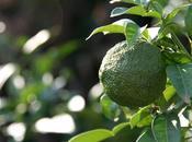 Olives nouvelles yuzu