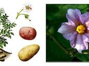 Marie-Antoinette glissait fleurs pomme terre dans chevelure