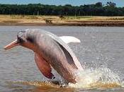 dauphins roses d'Amazonie sont danger