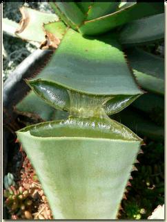 L'aloé véra, un trésor de la nature pour l'organisme et les cheveux