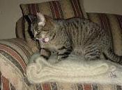 Pourquoi chat pétrit avec pattes antérieurs?