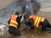 Australie: cachalots morts échoués, autres sauver