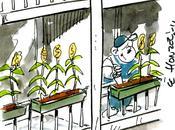 Épuisons faucheurs volontaires plantant maïs dans jardins!