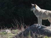peur grand méchant loup? loups Chabrières