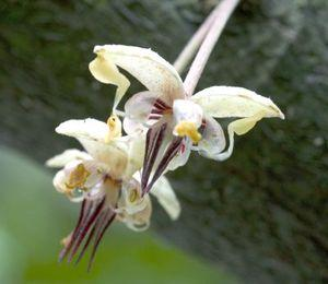 cacao_flower