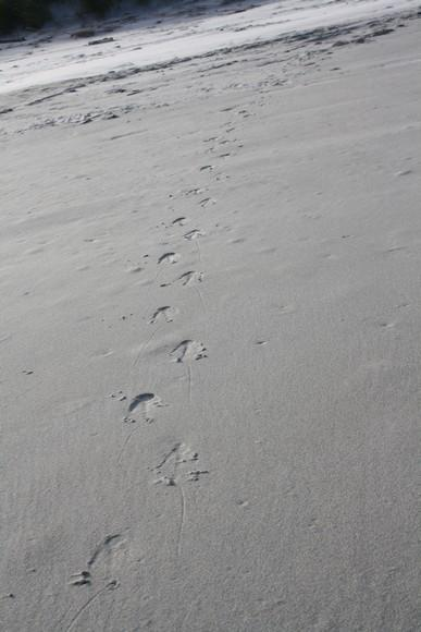 des traces qui semblent etre celles d'un pingouin !