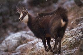 Chamois David Greyo 285x189 Concours de photo nature Frisson dHiver : les résultats !