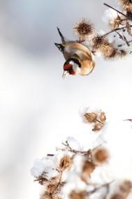 Chardonneret élégant Grégory Smellinckx 189x285 Concours de photo nature Frisson dHiver : les résultats !