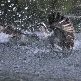 photo irène amrhein balbuzard pêhceur 285x285 Concours de photo nature Frisson dHiver : les résultats !