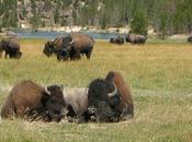 Vaches privées bisons publics