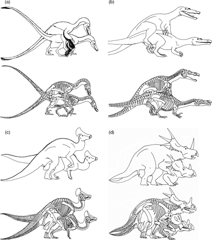 Postures sexuelles pour (a) Velociraptor mongoliensis; (b) Baryonyx walkeri (c) Olorotitan arharensis et (d) Styracosaurus albertensis, Isles 2009