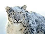Snow Leopard gratuit pour utilisateurs (feu) MobileMe...