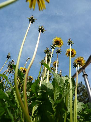 Dandelions trying to reach the sky