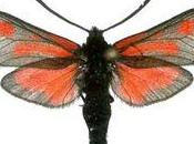 papillon plus rare Maroc part fumée