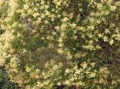 Ligustrum lucidum, troène Japon