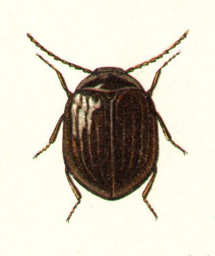 Eubria palustris