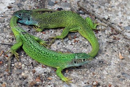 Couple de lézard vert, Lacerta bilineata