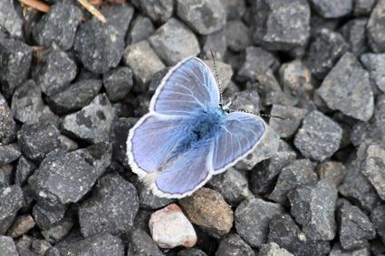Argus bleu, Polyommatus icarus