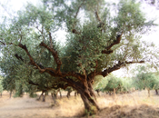Kalios, huile d'olive