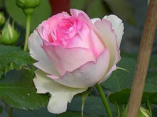 Épitaphe de Ronsard et sa rose: la