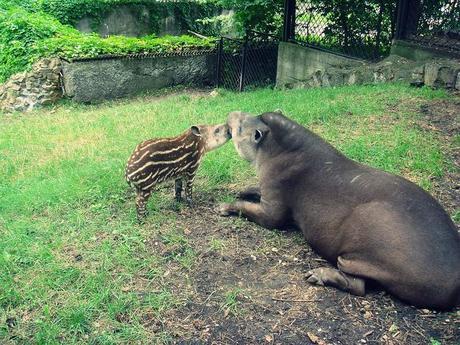 Tapir, Riga, zoo Latvia