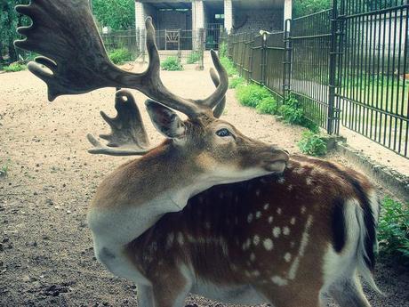 Cerf, RIga zoo Latvia