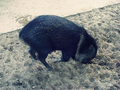sanglier, riga zoo Latvia